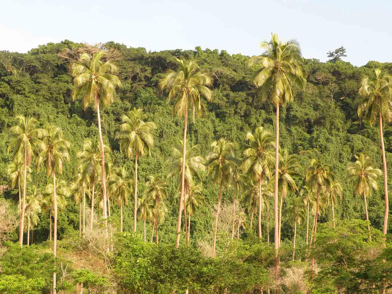 Coconuts in Espiritu Santo, Vanuatu.