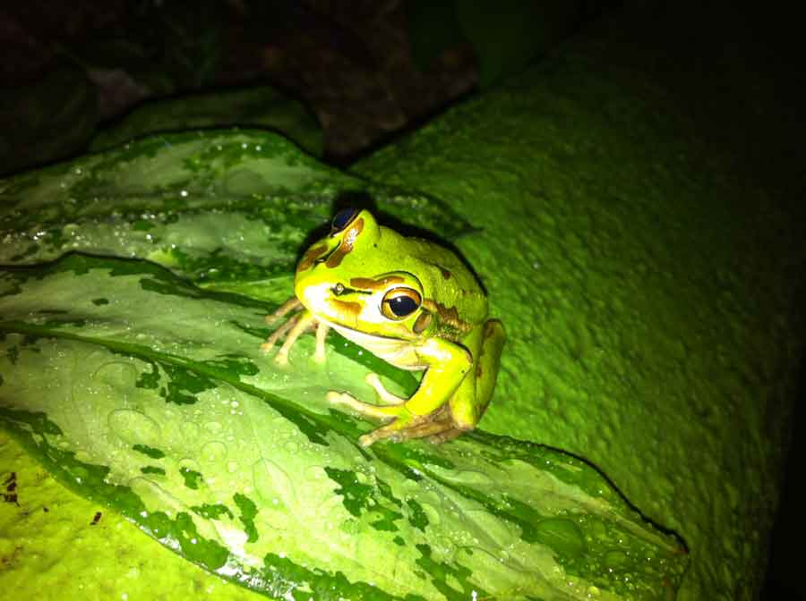 green tree frog at Turtle Bay Lodge